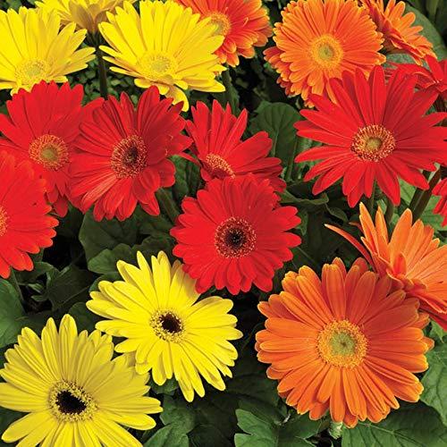 Derlam Samenhaus-100 Pcs Gerbera Californian Riesen Mix Bio Blumensamen mischung mehrjährig winterhart Bunt Blumen Saatgut für Balkon Garten