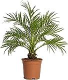PCMOVILES Palmera Phoenix roebelenii o palmera Enana en maceta de 17cm planta Viva