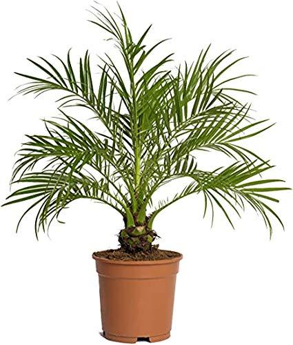 PCMOVILES Palmera Phoenix roebelenii o palmera Enana en maceta de 17cm planta...