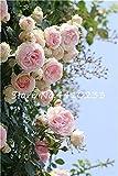 Kalash nuevas 100 PC rosal trepador semillas de flores de color rosa claro jardinería