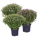 Kölle Chrysanthemen, 3er-Set, Busch, lila-rosa-weiß, Höhe ca. 40-45 cm, Topf 19 cm Ø