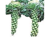 1株に約90個収穫できるアイスランド子持ちキャベツ 種 40粒