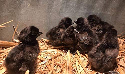 Ayam Cemani Fertile Hatching Eggs Dozen