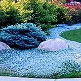 Benoon Semillas de jardín de flores 400 unidades/bolsa de semillas de tomillo rastrero de alto rendimiento fáciles de cultivar semillas de bonsai perennes para césped - azul claro
