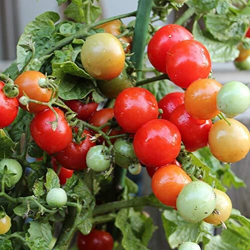 Tiny Tim Tomatensamen für ca. 20 Pflanzen - gutes Tomatenaroma, hoher Ertrag