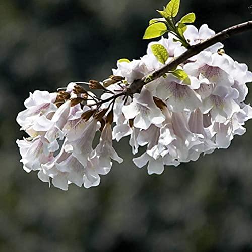 100 Piezas Semillas De Paulownia Paisaje De Plantación Simple En El Jardín Patio Olor Fresco Aroma Agradable Cultivar árboles Ornamentales