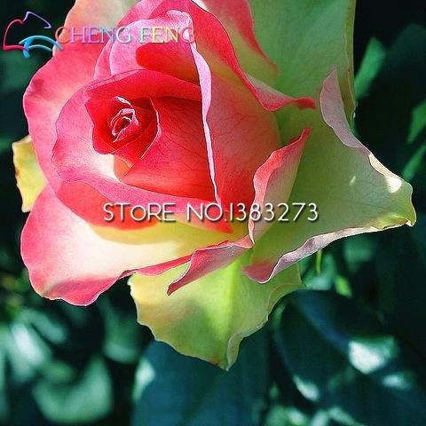 150 Red Arbre Rose Graines magnifiques couleurs vives Diy Plantes jardin en pot Balcon Jardin Fleur Bonsai SEMENT