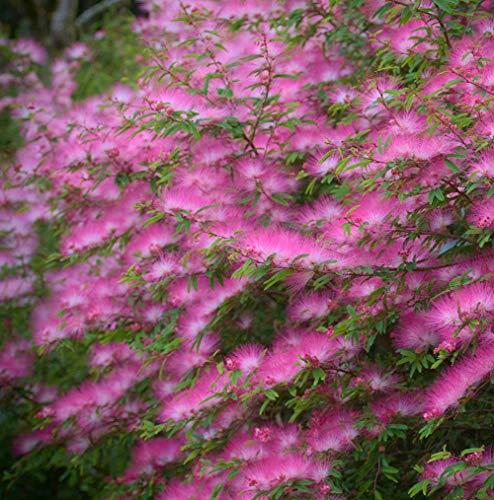 Seidenbaum Rosa Pflanzen Samen 10+ Bio Albizia Julibrissin Strauch Frische Premium Blumensamen zum Pflanzen Garten Hof im Freien