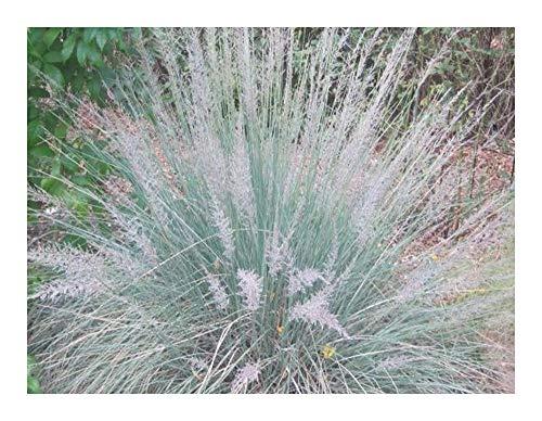 Muhlenbergia lindheimeri - Graminée - 20 graines