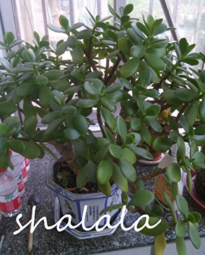 ! 2019 Neue Ankunfts-Swallow Palm Bonsai Frisch Seltene Jadeanlage Bonsai Bonsai Sukkulenten Blumen Bonsai Easy Care Pflanze 100PCS: 2