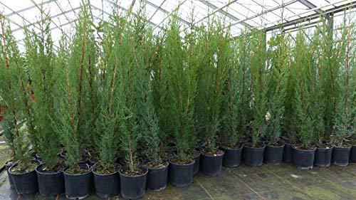 25x Mittelmeerzypresse 90-110 cm Säule Toskana Zypresse Cupressus Sempervirens Hecke Heckenpflanze
