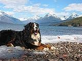 Berner Sennenhund Malen nach Zahlen für Erwachsene DIY