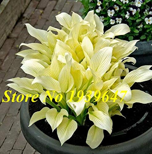 150pcs / bag beautiful Perennial Plants Hosta Lily Flower Shade Hosta Flower Grass Ornamental Plants bonsai Home Garden : 6