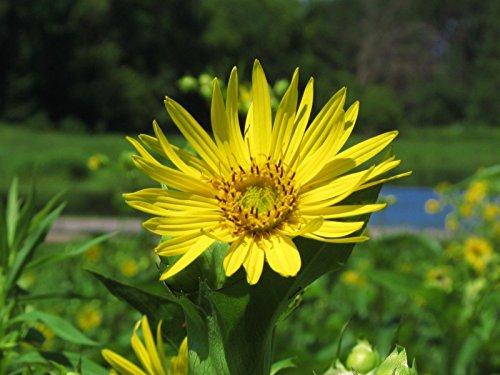 plante tasse, jaune Perennial, forme l'habitat de l'eau pour les oiseaux, 10 graines