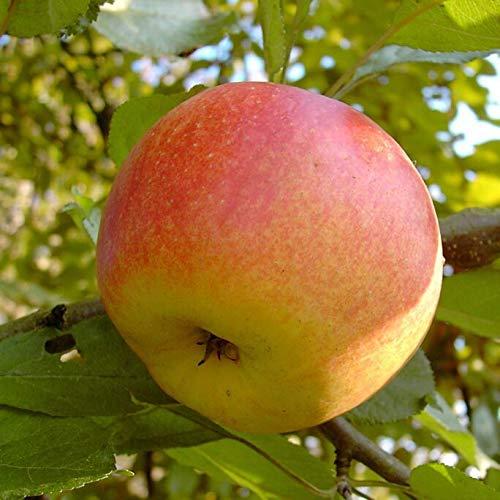 Müllers Grüner Garten Shop Shampion großer süßer Apfel Buschbaum 150-170 cm 10 Liter Topf Unterlage M7