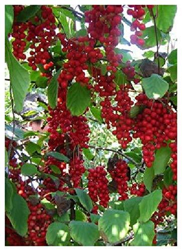 TROPICA - Wu-Wei-Zi Beere (Schisandra chinensis) - 15 Samen