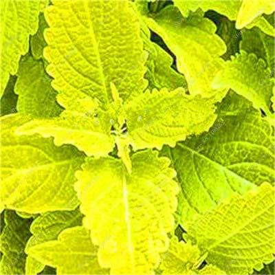 GETSO Vente Hot 100 Pcs Bonsai Arc-en-Coleus Fleur Plantes Beau Feuillage Couleur Parfaite Dragon Balcon Begonia Bonsai Facile à cultiver: 14
