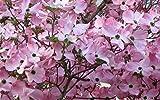 Pink Dogwood Tree 10-16' Tall Quart Pot