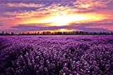 PROW Colorful Jigsaw Puzzle, 1000 Piece, Finish Size 30''x20'', Basswood Premium Quality, Lavender Flowers Sunset Purple Field Landscape for Love