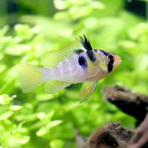 (熱帯魚)オランダ・ラミレジィ(国産ブリード)(3匹) 本州・四国限定[生体]