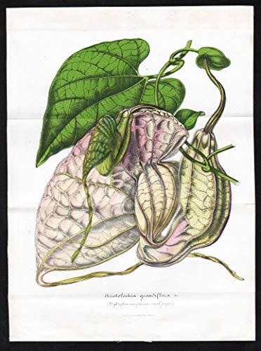 Aristolochia grandiflora - Großblumige Pfeifenblume pelican flower Blumen flowers Botanik Botanical Botany antique print
