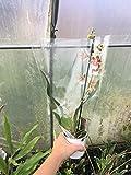 """I semi sono il pacchetto di set. A livello internazionale che fornisce la spedizione L'immagine è solo per riferimento. Semi di Cambria Orchid Orchid """"Mixi"""" Miltassia specie in fiore ora."""