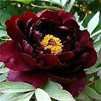 芍薬の球根&ファンタジーとユニークな花、バルコニーの豪華な鉢植え,10球根