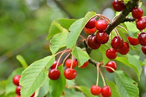 Sauerkirsche 'Morellenfeuer' - (Prunus...