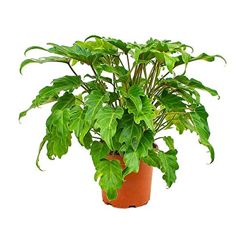 Xanadu Cut Leaf Philodendron - Live Plant in a 6 Inch Pot - Philodendron Danadu - Compact Easy Care Evergreen Shrub