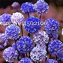 50 pcs/lot armeria maritima Seeds - sea Thrift, Mix Colors Seagrass for DIY Home Garden planting0
