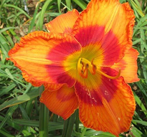 FERRY Bio-Saatgut Nicht nur Pflanzen: Taglilien Friendly Selman Orange Rot Ruff Taglilien 100 Seeds Fans