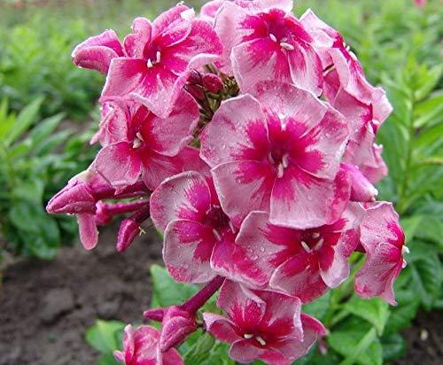 Hot 100 Pcs vivaces fleurs Phlox Graines exotiques Bonsai Graines de fleurs belles fleurs multi couleur Plante en pot Diy jardin 3