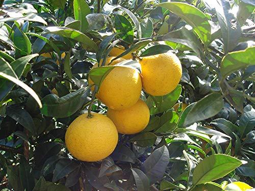 青木さんのゴールデンオレンジ 3kg