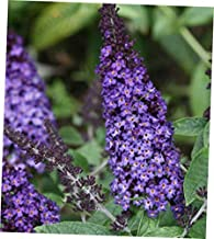 DAG 1 Bare Root Beautiful Buddleia 'Miss Ruby' Butterfly Bush Fragrant Plant - RK1110