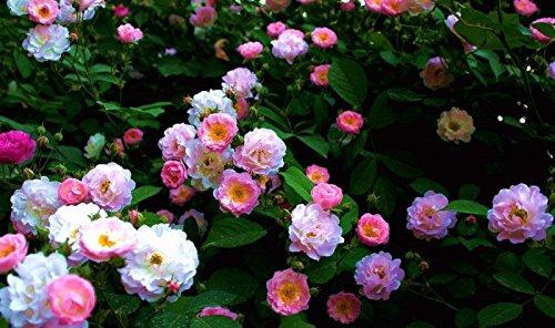 50 pcs escalade graines Rose Rouge japonaise. Rare graines Rose sementes. mur d'escalade de jardin vivace floral plante ornementale 6