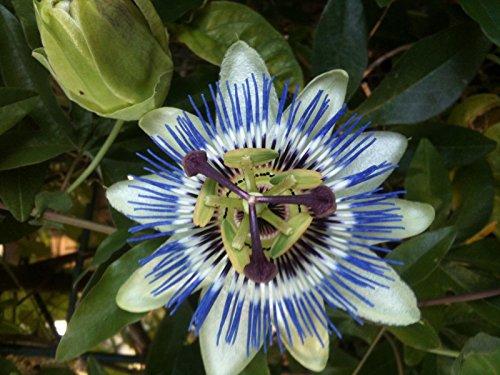 Passionsblume mehrjährig Kletterpflanze Samen Saatgut reicht für ca. 20 Pflanzen Heilpflanze
