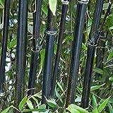 YouGarden Phyllostachys Nigra, 5 Litre, Black Bamboo