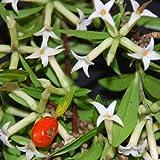 Plant World Seeds - Daphne Burkwoodii Somerset Seeds