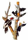 Counted Cross Stitch Pattern: 'Ivory Billed Woodpecker' Bird by John James Audubon - PROFESSIONALLY EDITED Image (Audubon Bird Series) (English Edition)