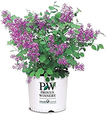 Proven Winners - Syringa x Bloomerang Dark Purple (Reblooming Lilac) Shrub, dark purple flowers, #3 - Size Container