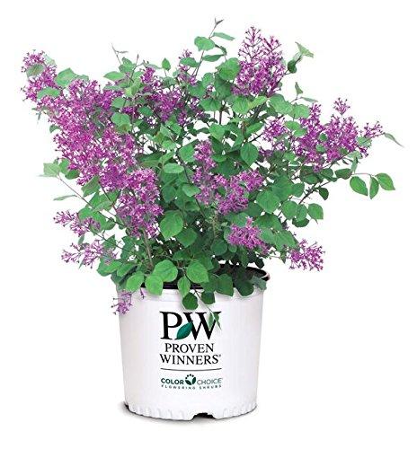 Proven Winners - Syringa x Bloomerang Dark Purple (Reblooming Lilac) Shrub, dark...