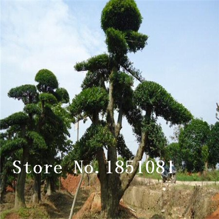 grande vente 100 Pieces / Lot chinois Graines Bonsai Elm, Woody Perennial Jardin Graines Ulmus Pumila Arbre Graines