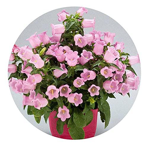 Semillas para Germinar Brotes,Semillas de Flores de Campanilla de Viento de Plantas fáciles de Vivir-0.5 kg_Color Mixto,Perennes Semillas De Flores