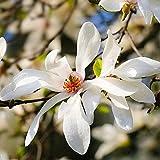 100 piezas de semillas de magnolia variedad rara blanco puro llamativas flores de fragancia símbolo del ramo ornamental de primavera fácil de plantar adecuado para jardineros novatos