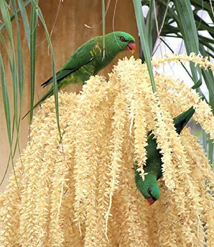 Lorikeets Digitaal olieverfschilderij golfzitje vogels Australië