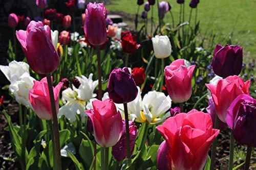 2.000 Tulpenzwiebeln Blumenzwiebeln Großpackung Tulpen für große Gärten (Parks) und Schnitt