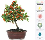 Brussel's Live Dwarf Pyracantha Outdoor Bonsai Tree - 5 Years Old; 8' to 12' Tall with Decorative Container