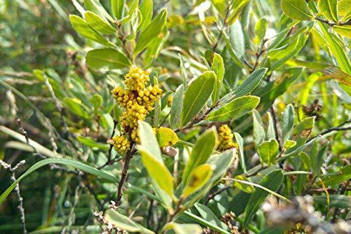 Gagelstrauch Myrica gale Pflanze 25-30cm Gagel Moor-Gagel Talgstrauch Rarität