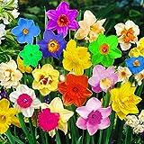 Adolenb Seeds House- 100pcs rares graines de jonquilles multicolores, vivaces graines de fleurs Bells fleurs graines Hardy bulbes de fleurs pour Barkon, jardin
