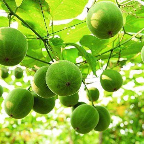 15pcs axillaire Choerospondias fruits Graines Sud Jujube arbres fruitiers Graines jardin Bonsai usine de bricolage